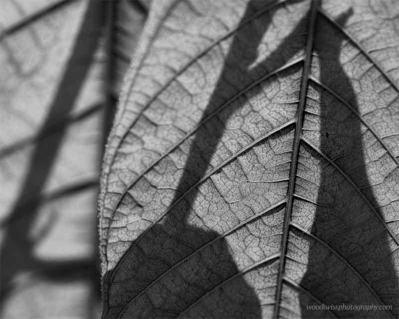 Cocoa Leafbw