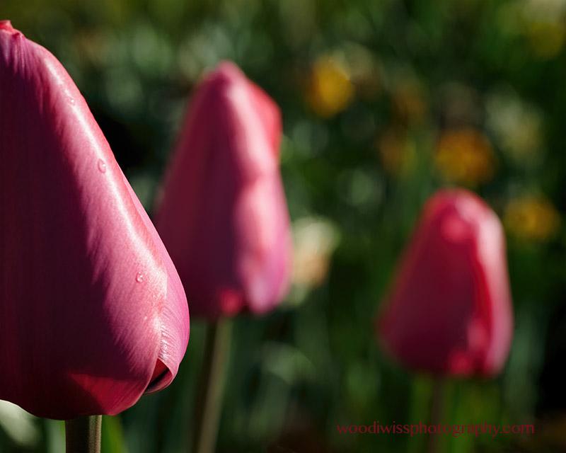 Tuliptrio
