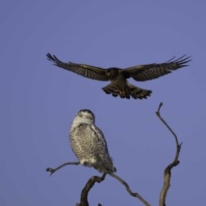Don Woodiwiss-Amherst Island-Snowy Owl