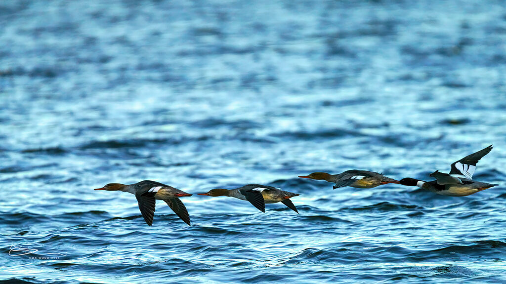 mergansers in flight-Amherst Island-Don Woodiwiss
