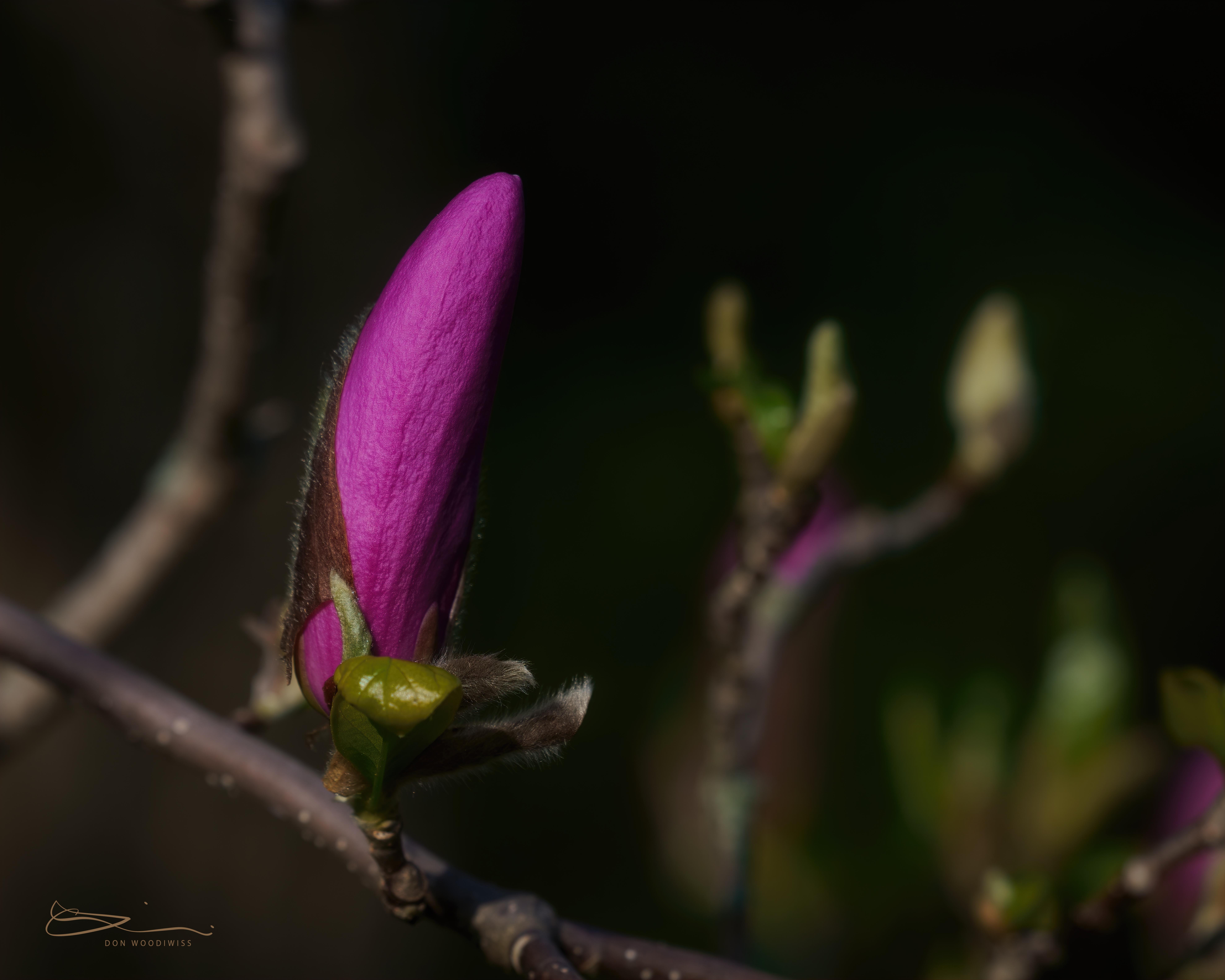 magnolia bud-Don Woodiwiss-Woodiwiss Photography