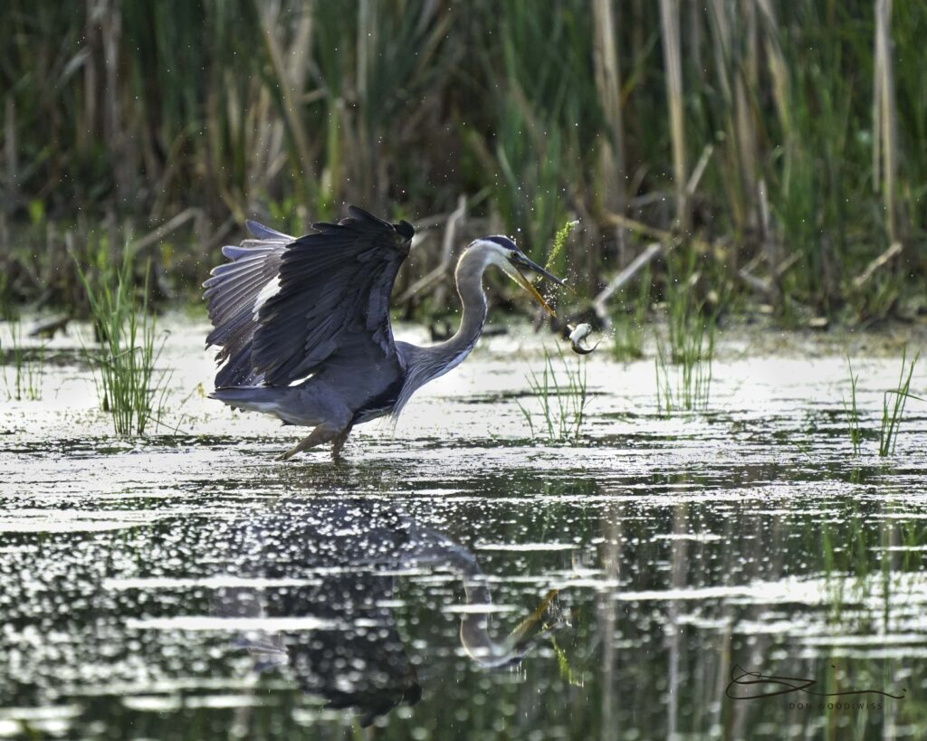 Don Woodiwiss-Woodiwiss Photography-wildlife photographer-great blue heron-heron hunting-heron with catch