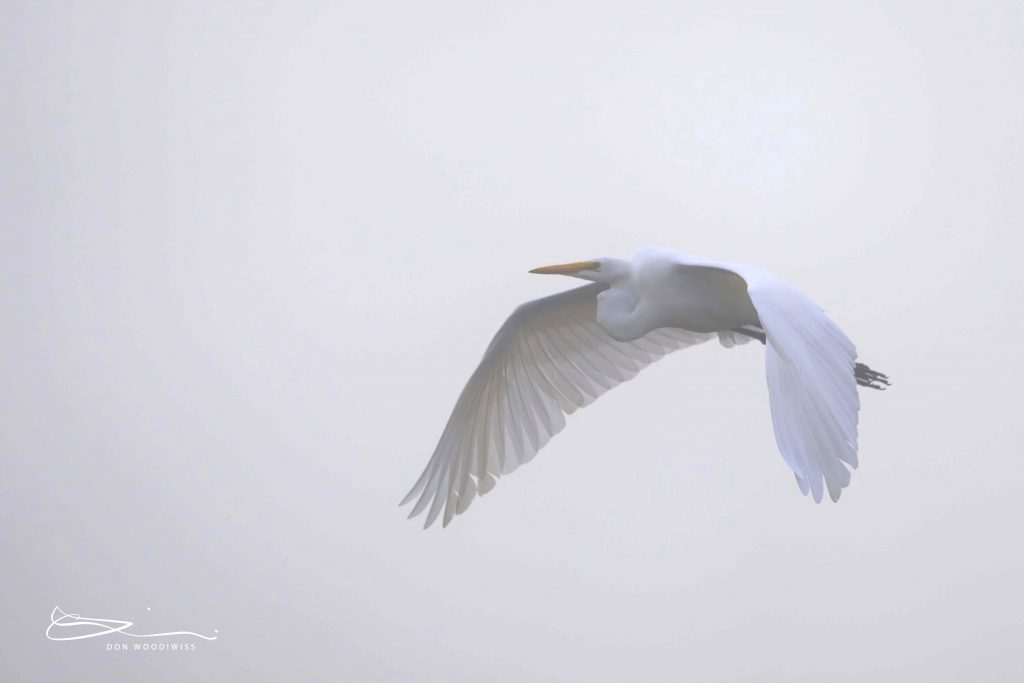 Great Egret-Don Woodiwiss-Woodiwiss Photography-Amherst Island