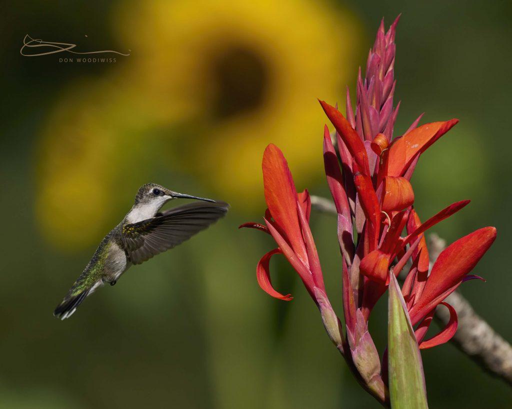 Hummingbird-Don Woodiwiss-Woodiwiss Photography